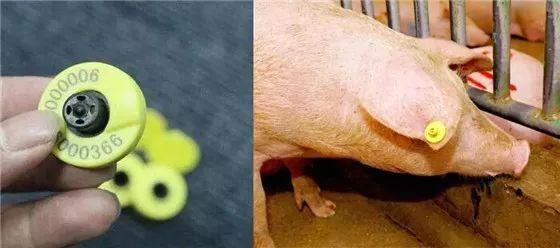 村田RFID标签在生猪溯源管理的应用